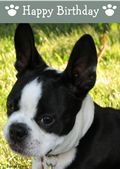 Boston Terrier-Happy Birthday (No Theme)